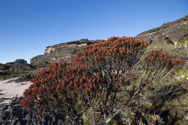 Cumbre del soporte Roraima, de piedras volcánicas y de plantas endémicas rojas imagen de archivo