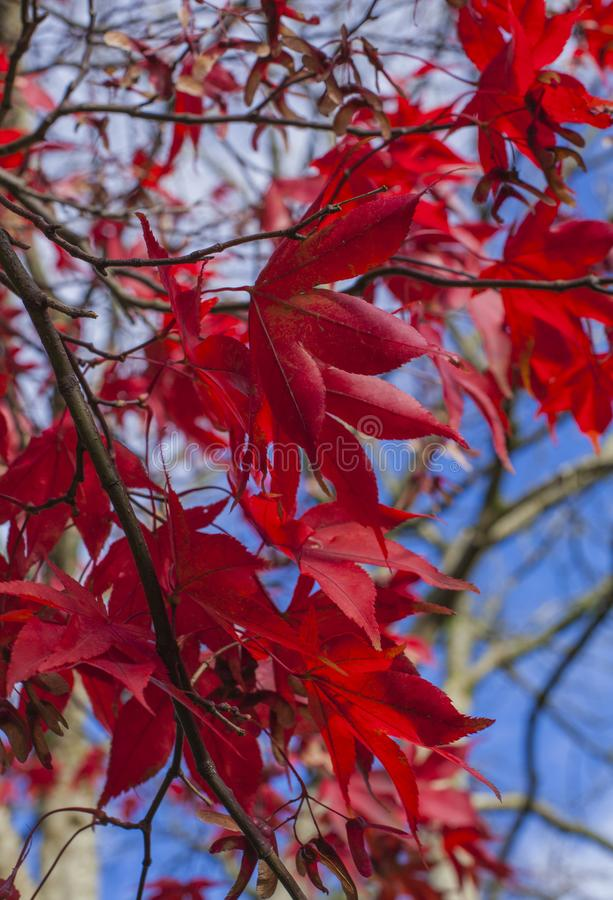 Cumbria, Lake District, England, the UK - colours of the autumn; red leaves and blue skies. This image shows some red leaves and blue skies in Cumbria, Lake stock photo
