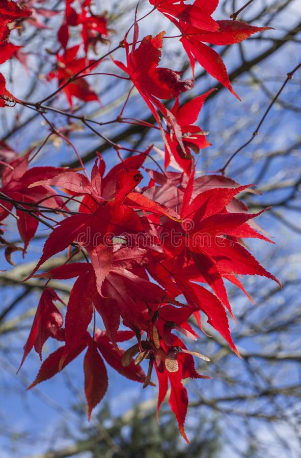 Cumbria, Lake District, England, the UK - red leaves and blue skies on a sunny day. This image shows some red leaves and blue skies in Cumbria, Lake District royalty free stock photos