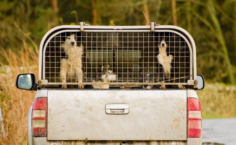 cumbria sheepdogs gromadzcy jeziorni obrazy stock