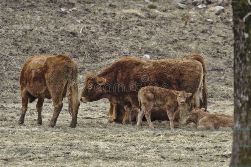 Cumbrian-Vieh lizenzfreies stockbild