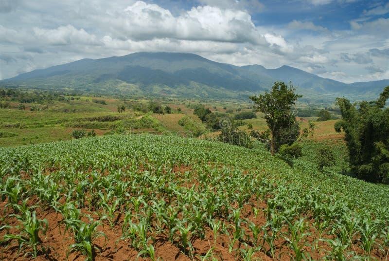 Cume tropical com campos de milho foto de stock