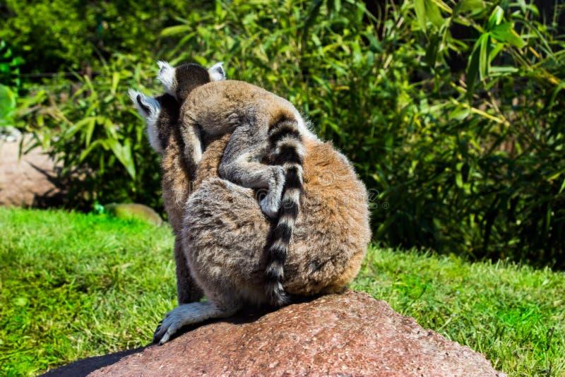 Cumiana, Torino/Italia 05-15-2015: Madre di Lemure e presto immagine stock libera da diritti