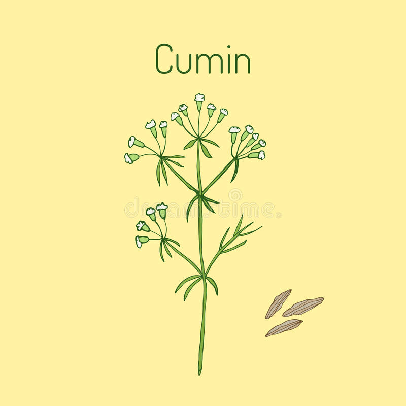 Cumin de plante aromatique illustration de vecteur