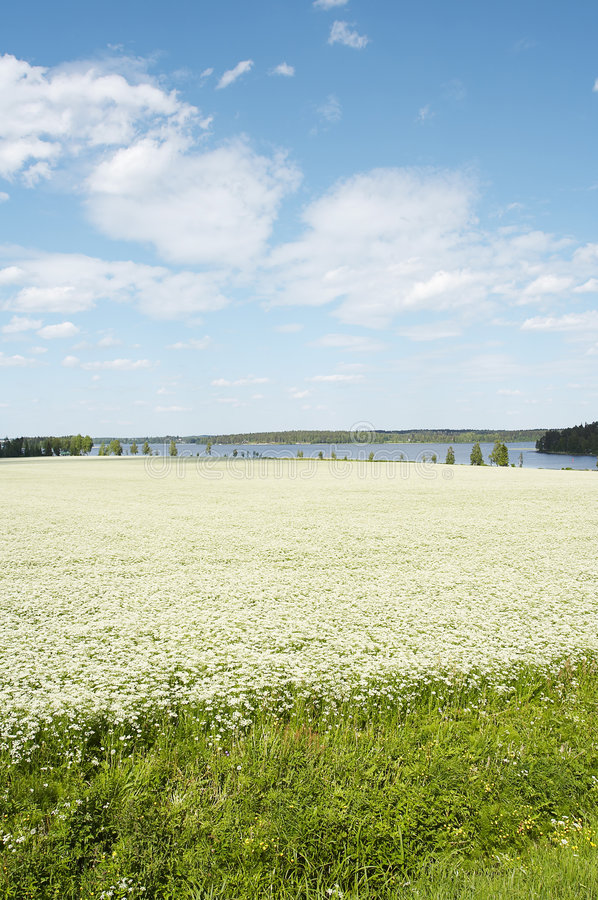Download Cumin Field Royalty Free Stock Photo - Image: 893575