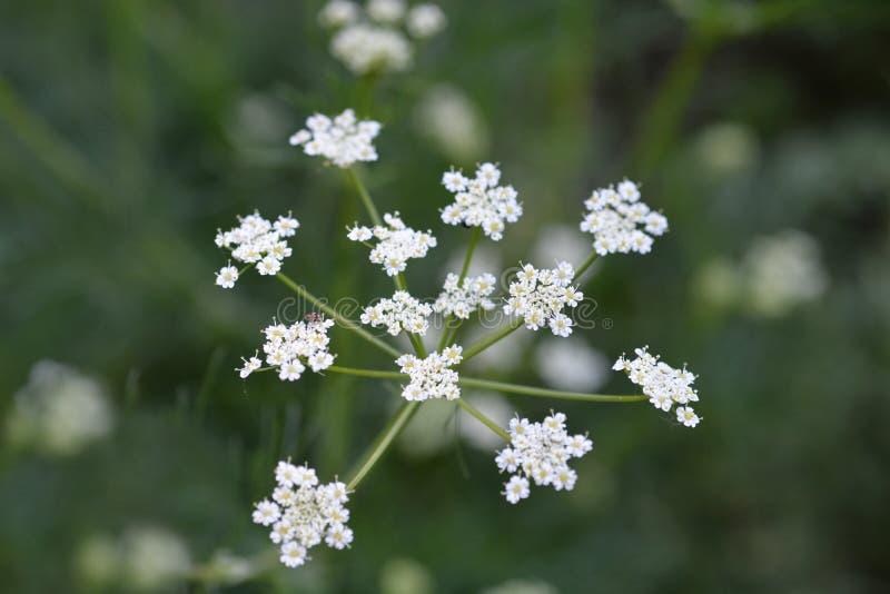 Cumin flower. Cumin white flower - Latin name - Cuminum cyminum stock image