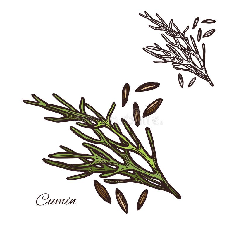Cumin seasoning plant seeds vector sketch icon. Cumin seasoning plant sketch icon. Vector isolated cumin herbal spice and seeds for culinary cuisine cooking or vector illustration
