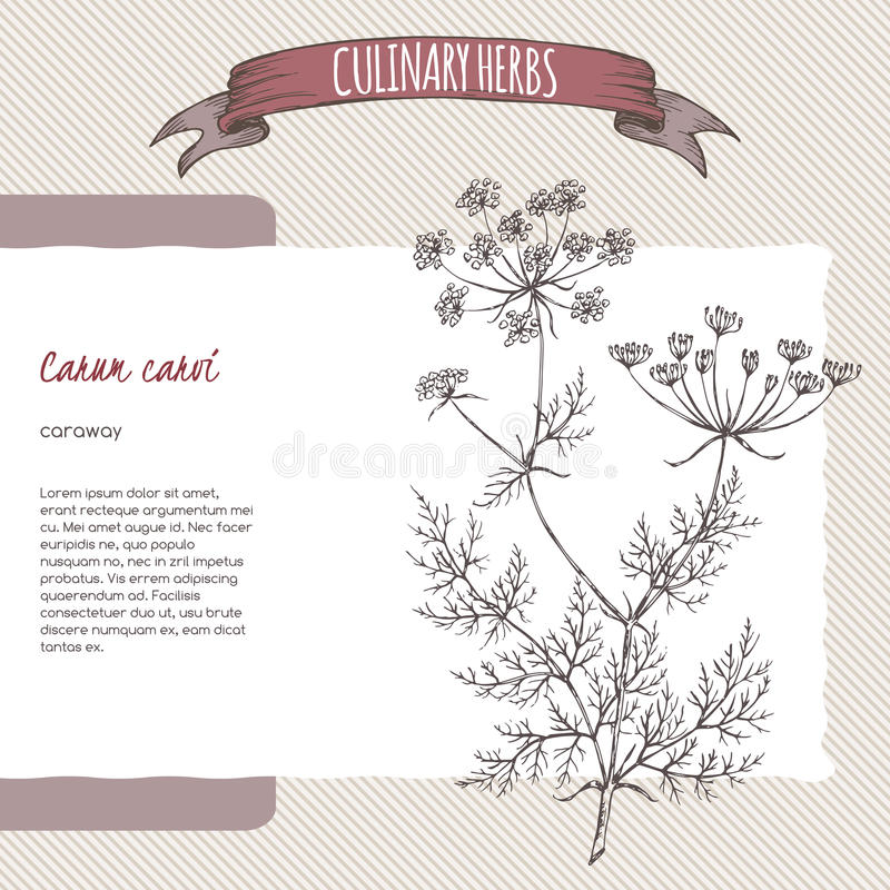 Cumino persiano del cumino aka, carum carvi, schizzo disegnato a mano royalty illustrazione gratis