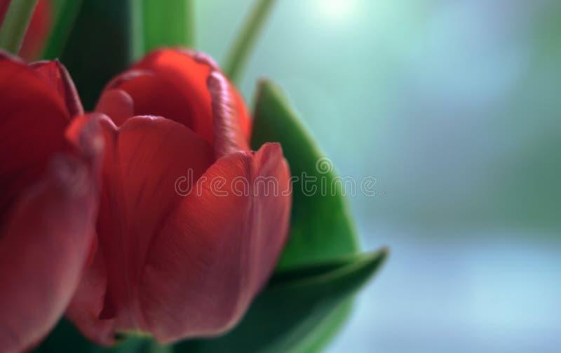 Cumprimentando o cartão floral com espaço da cópia - close up vermelho da flor da tulipa com espaço da cópia imagens de stock