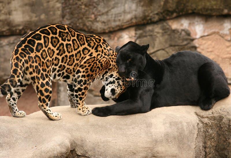 Cumprimento entre jaguares fotografia de stock royalty free
