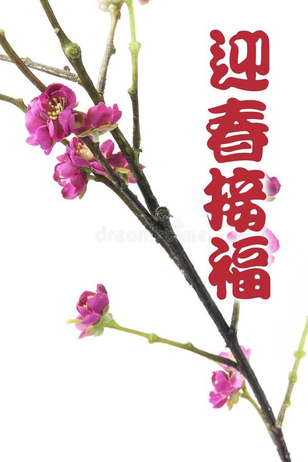 Cumprimentos com flor da ameixa fotos de stock royalty free