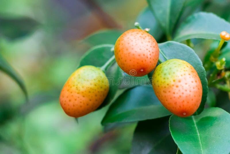 Cumquat, kumquat, alaranjado com a folha isolada no fim do fundo foto de stock royalty free