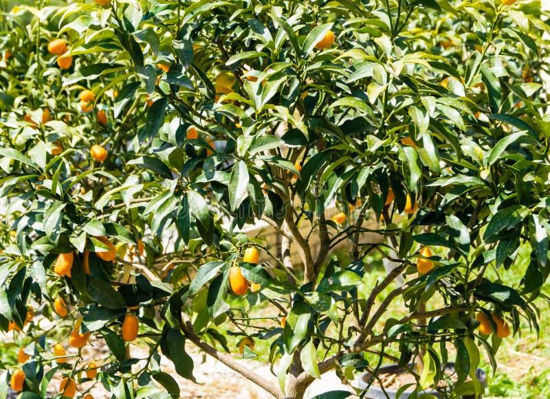 Cumquats przy Corfu zdjęcia royalty free