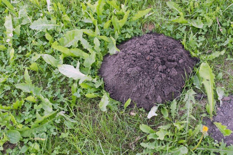 Cumulo di terra sollevato dalla talpa fresco della talpa for Talpa mammifero
