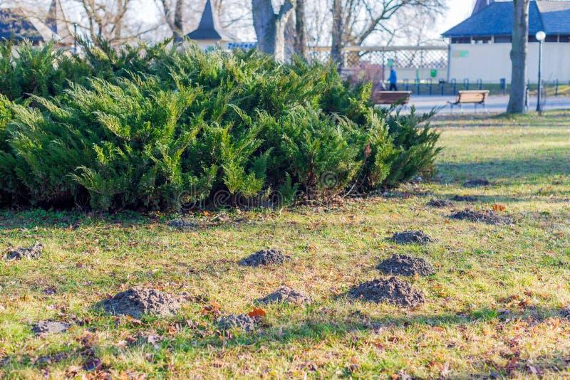 Cumulo di terra sollevato dalla talpa sull'erba nel parco di autunno fotografie stock