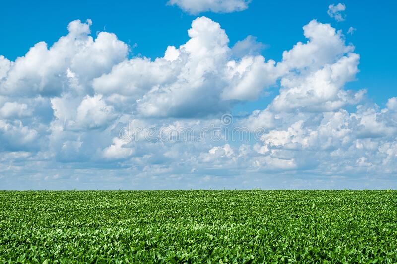 Cumulus Clouds over a Soybean Field royalty free stock photos