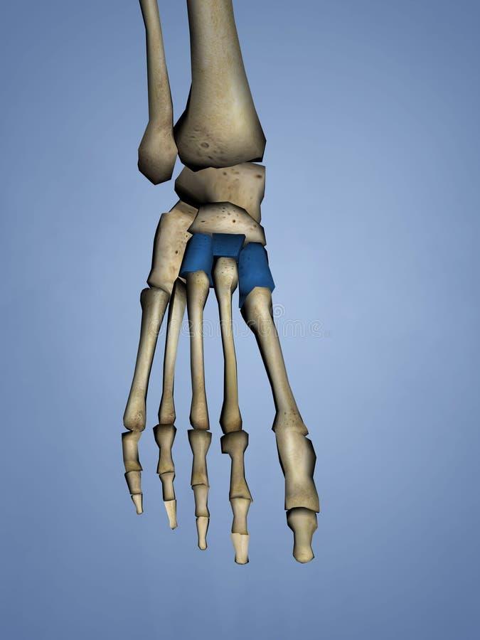 Cuneiform Bones, 3D Model royalty free stock photos