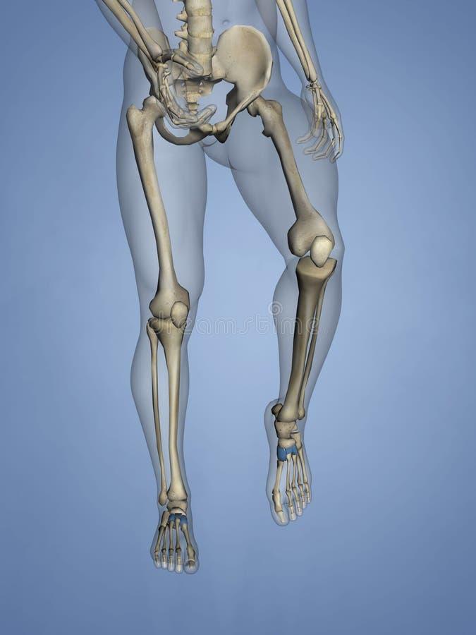 Cuneiform Bones, 3D Model stock photos