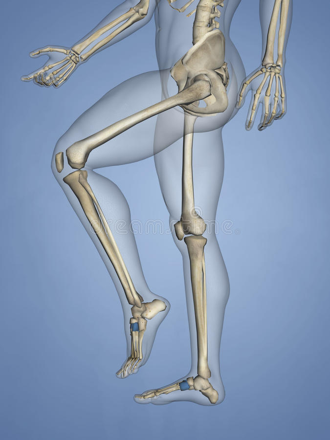 Cuneiform Bones, 3D Model stock photography