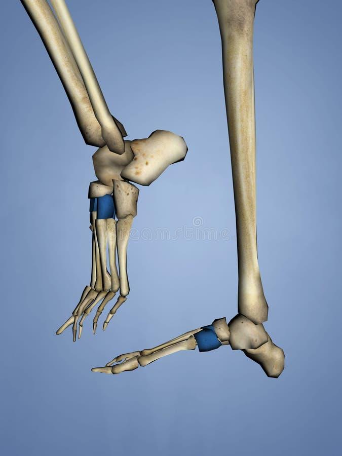 Cuneiform Bones, 3D Model royalty free stock images