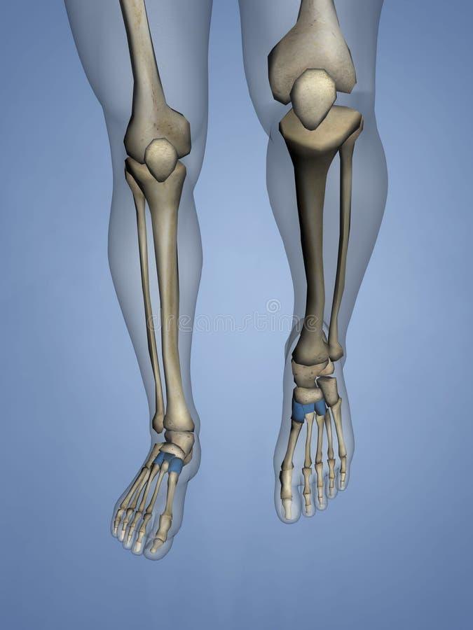 Cuneiform Bones, 3D Model stock image