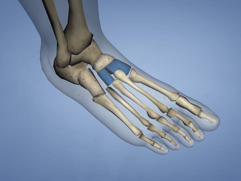 Cuneiform Bones, 3D Model royalty free stock photo