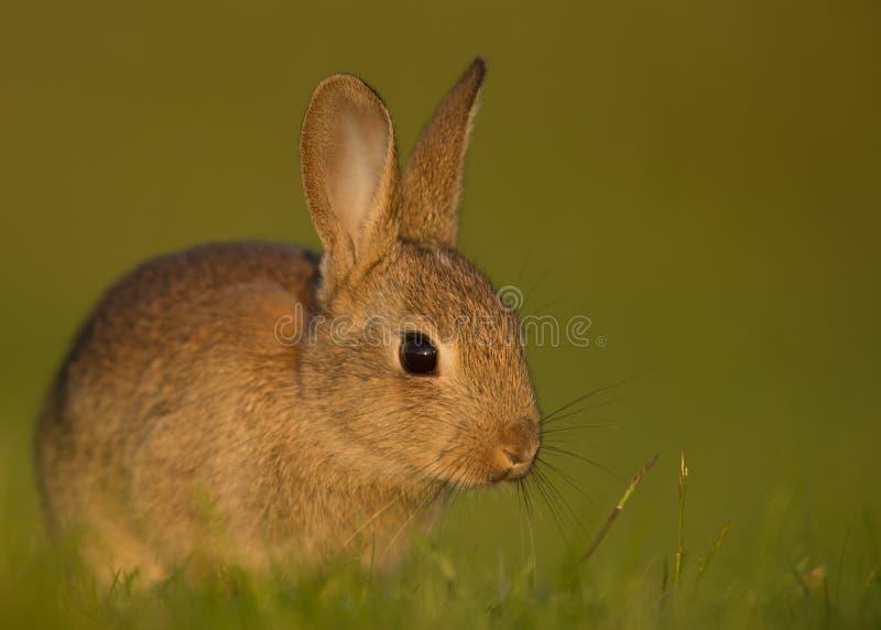 Cuniculus salvaje del Oryctolagus del conejo europeo, juvenil foto de archivo libre de regalías