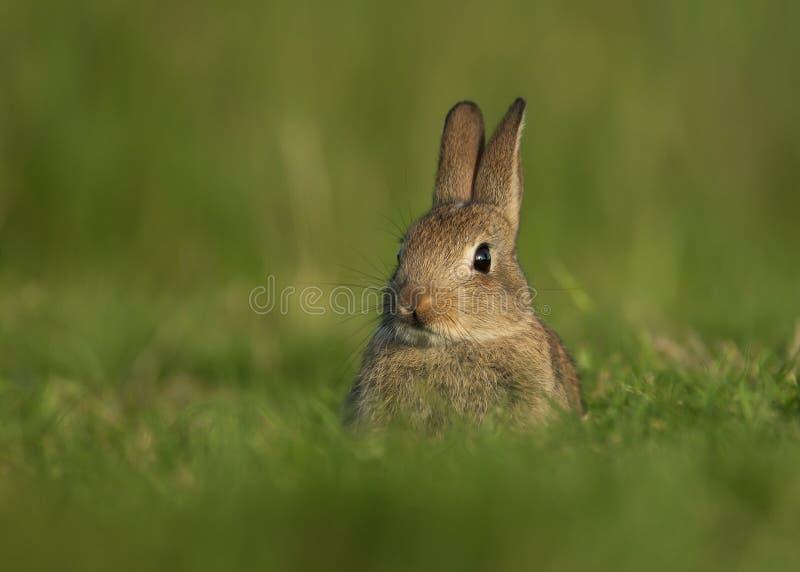 Cuniculus selvatico di oryctolagus del coniglio europeo, giovanile immagine stock