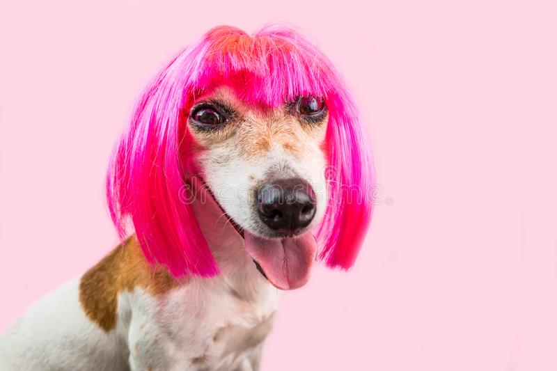 Cunning suspecting dog face in bright pink wig. Funny cunning suspecting dog face in bright pink wig stock image