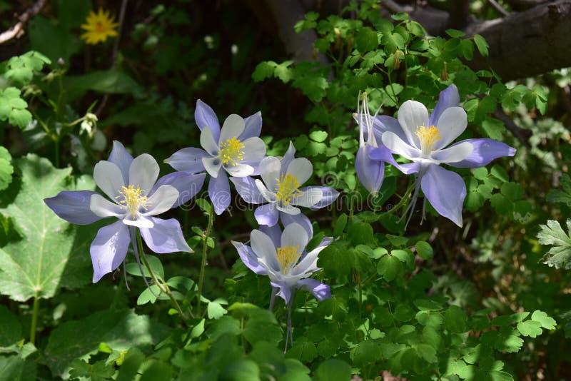 Cunningham Gulch Columbine Flowers images stock
