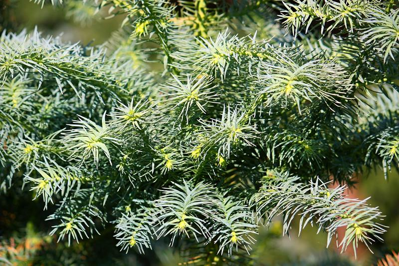Cunninghamia. Evergreen coniferous trees in the cypress family Cupressaceae royalty free stock photos