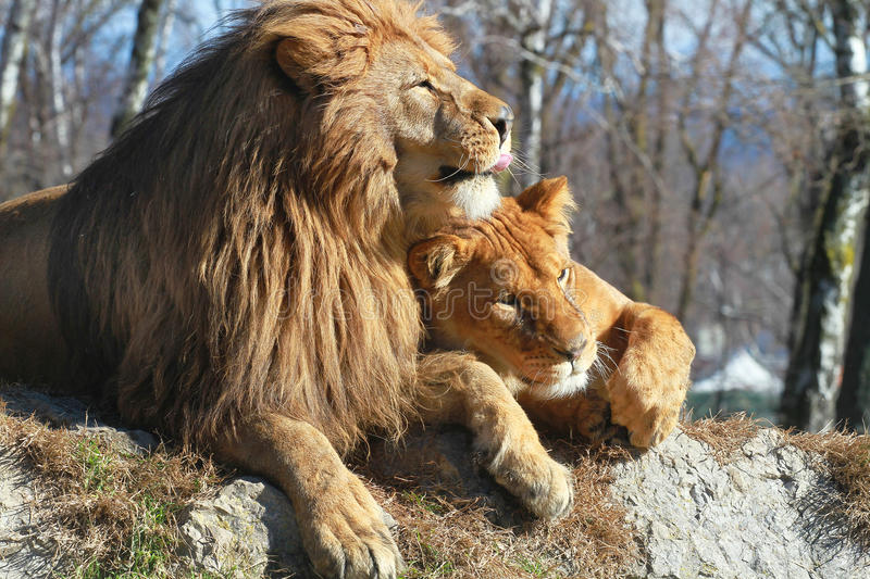 Cuople de lions photographie stock