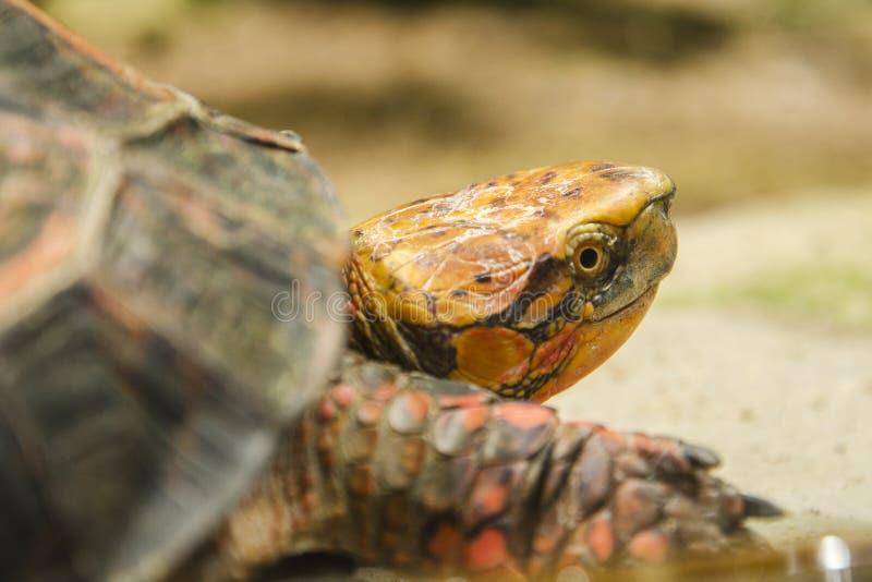 Cuora galbinifrons (χελώνα) 1 στοκ εικόνες