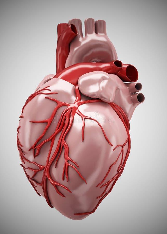 Cuore - anatomia di cuore umano isolata su bianco illustrazione di stock
