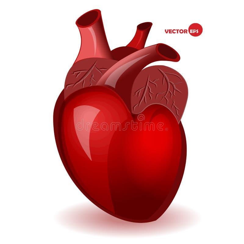 Cuore del corpo con le vene in uno stile comico semplice Carta di umore di San Valentino Cuore anatomico, illustrazione dettaglia illustrazione vettoriale