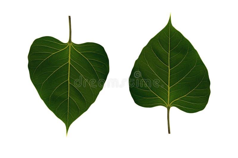 Cuore delle foglie verdi a forma di su fondo bianco immagini stock