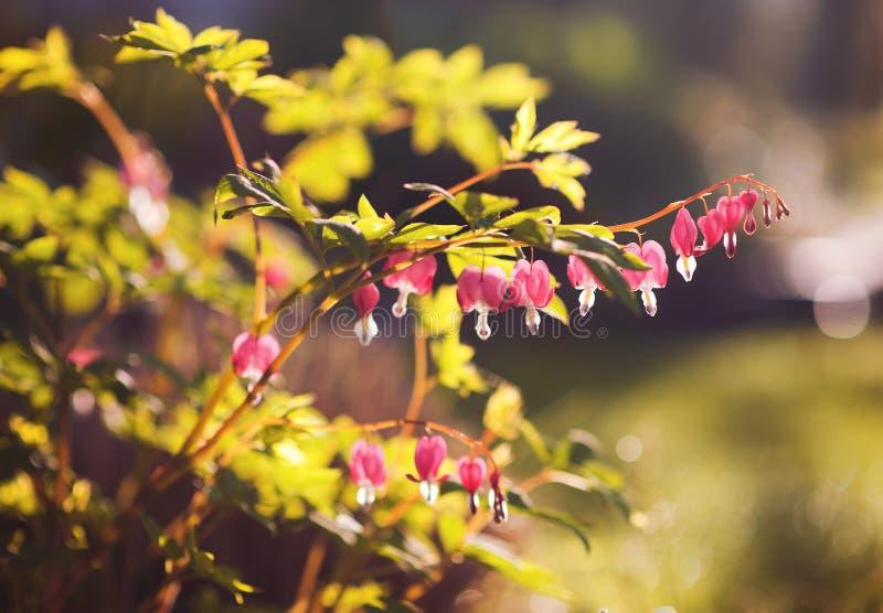 Download Cuore di emorragia fotografia stock. Immagine di fiore - 56889766