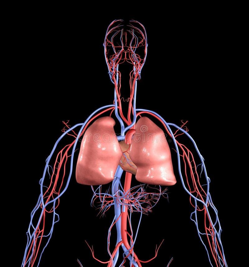 Cuore e polmoni illustrazione di stock