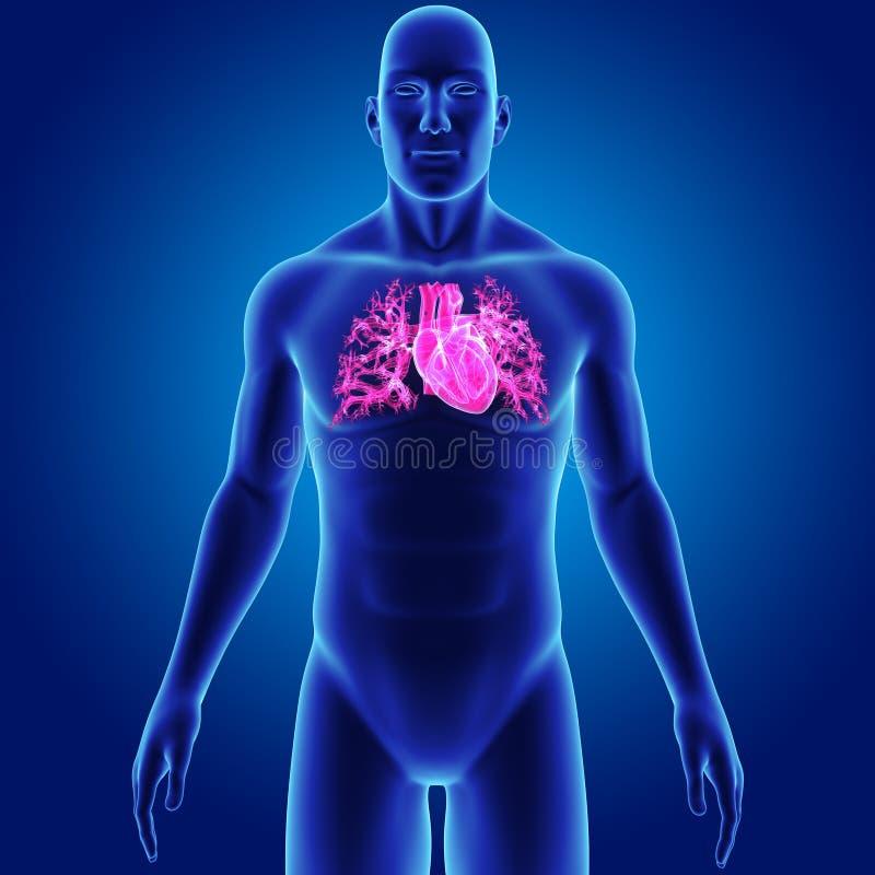 Cuore umano con la vista anteriore del corpo illustrazione vettoriale