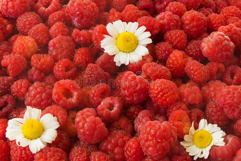 cup full of red raspberry. berries against cold. chamomile flowers. stock image
