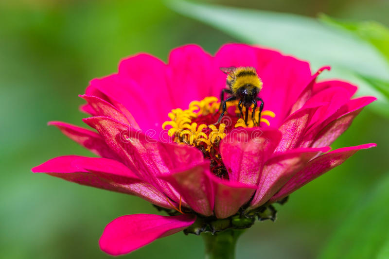 Cup of golden honey-dew. Macro view of a pink zinnia flower against smooth green background. A bee sits and feeds in the heart of the flower. It gathers the stock photos