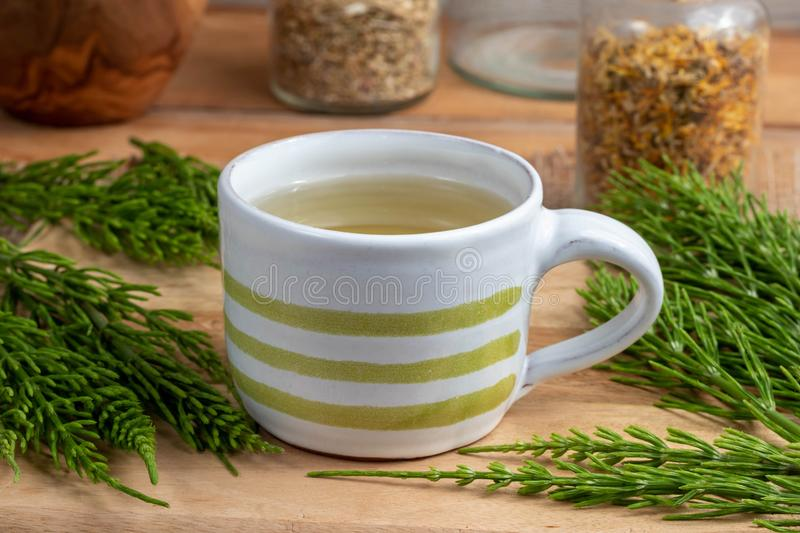 A cup of horsetail tea with fresh Equisetum arvense plant royalty free stock image