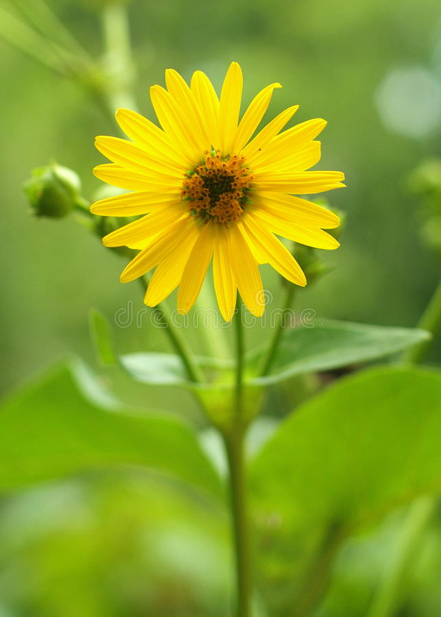 Cup plant silphium perfoliatum. A species of flowering plant in the Asteraceae family, native to eastern and central North America. It is an erect herbaceous royalty free stock photo