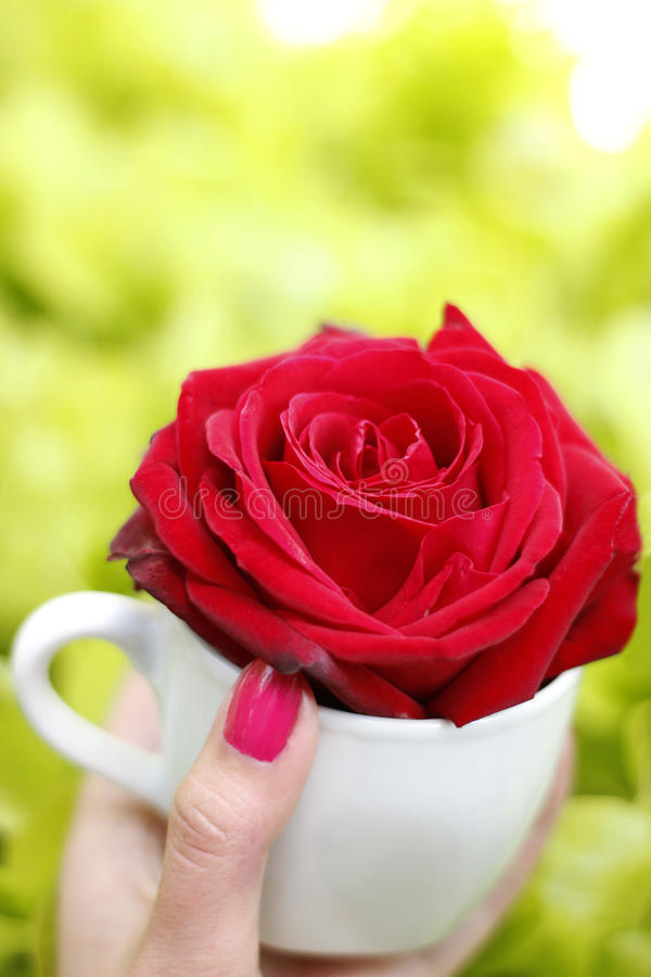Cup of rose. Cup with beautiful red rose an a green background stock photography