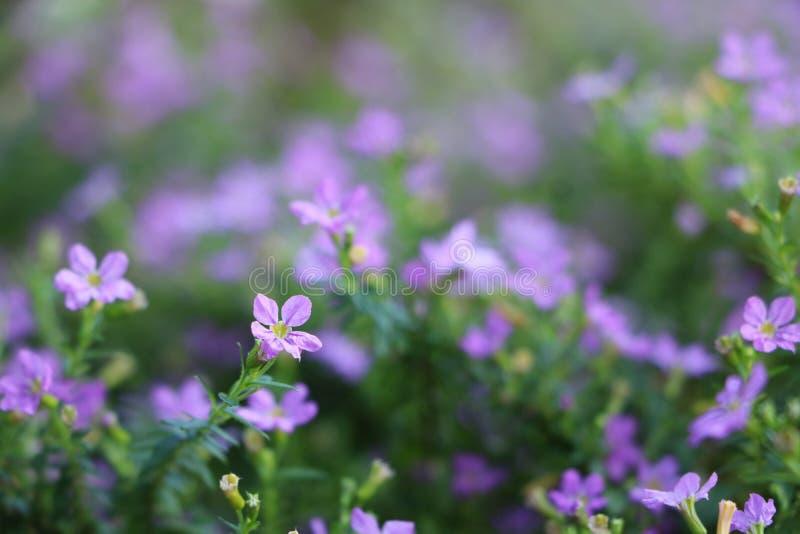 Cupheahyssopifolia, violette kleine bloemen in de tuin royalty-vrije stock afbeelding