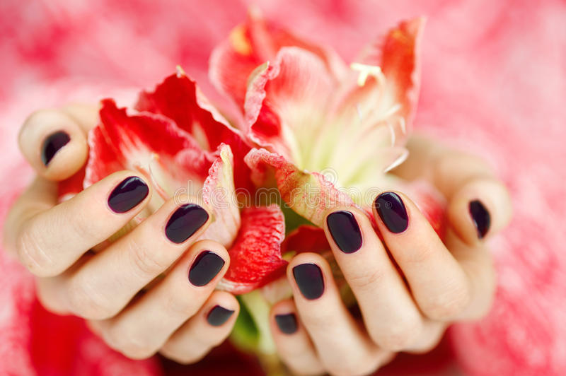 Cupped hands with dark manicure holding red flowers royalty free stock image