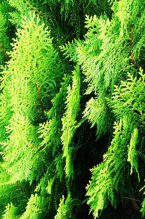 Cupressaceae. In the garden of thailand stock photography