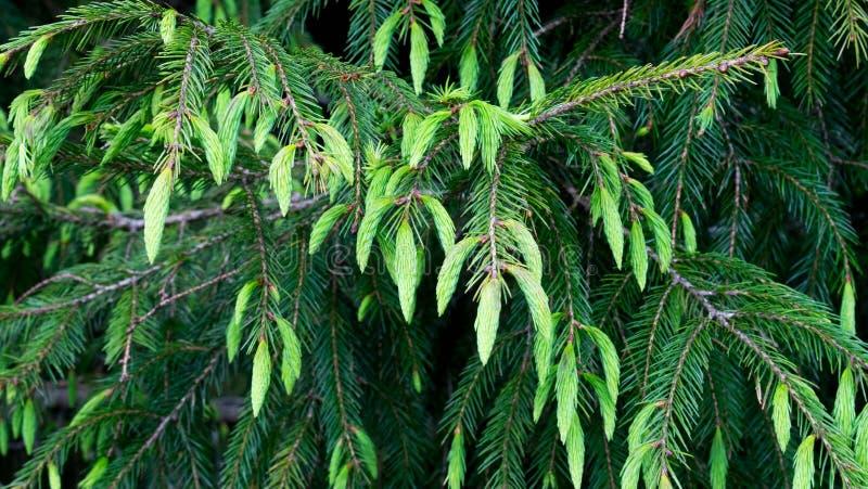 Cupressaceae photos stock