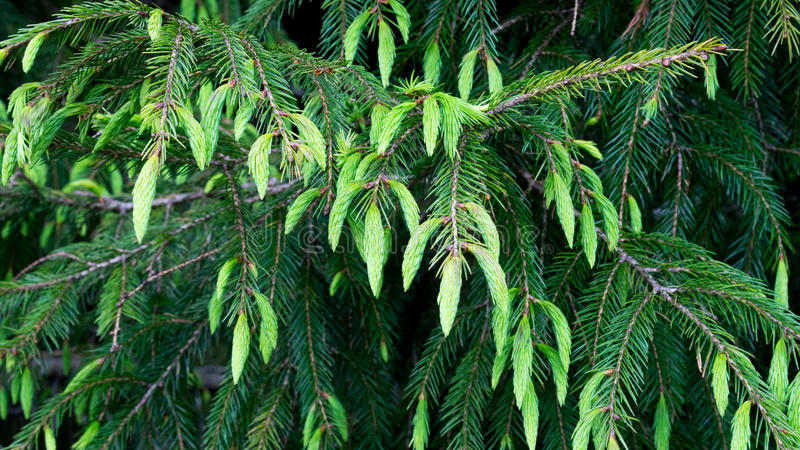 Cupressaceae. The Cupressaceae or cypress family is a conifer family with worldwide distribution. the new leaf is the greebn on the top of branch stock photos