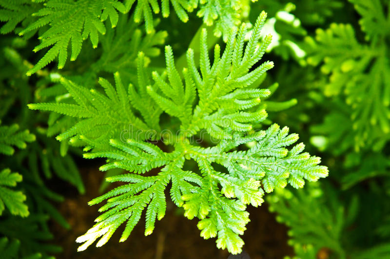 Cupressaceae. In the garden at the country of thailand royalty free stock photography